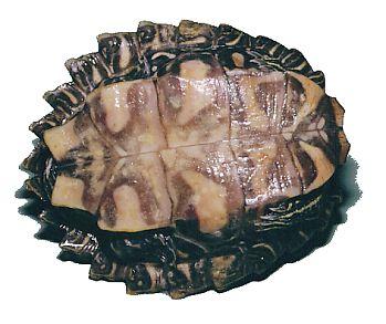 クロコブチズガメ