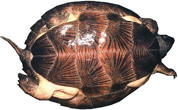 ノコヘリマルガメ