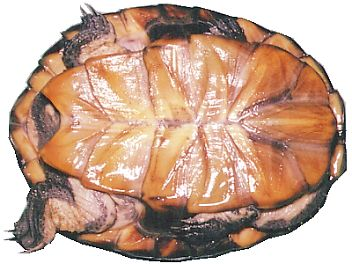 ナンベイヘビクビガメ
