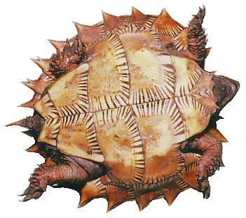 トゲヤマガメ